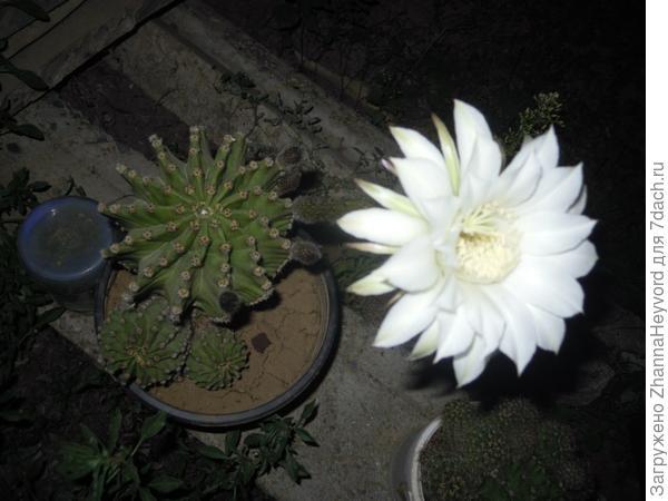 На этой фотографии кактус. Как он называется мы не знаем, но он так пахнет... а цвет только часов 8. Красота так мимолетна.