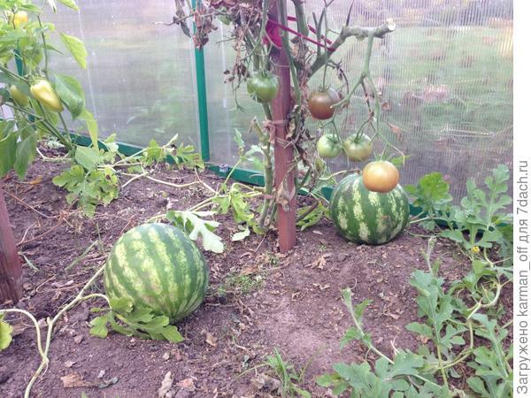 Посади арбуз весной, летом будешь козырной!