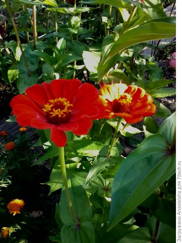 цветы -цинния