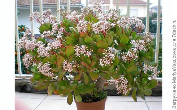 Денежное дерево(период цветения)