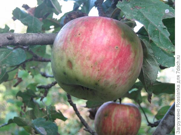 Яблочко.