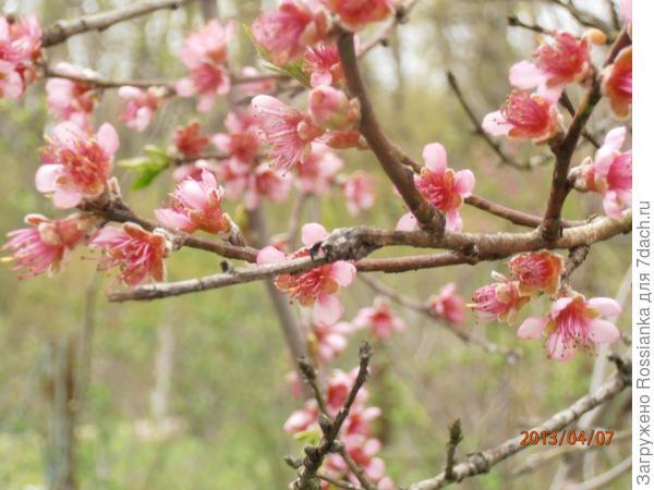 Персик в цвету.