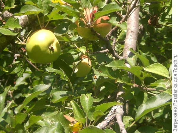 Яблоки на яблоне.