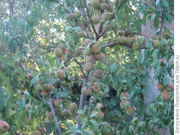 Персики ломятся.