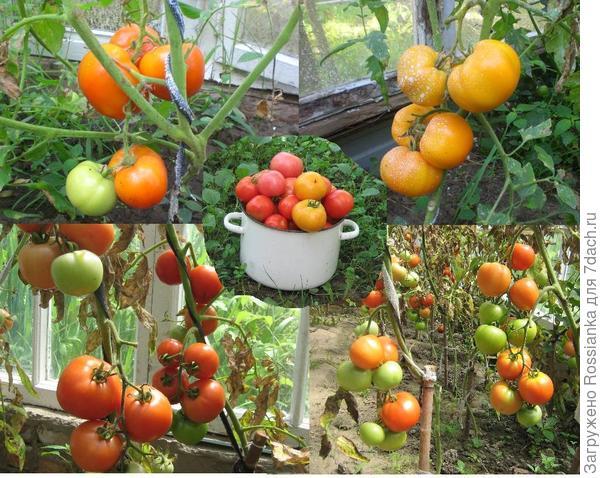 Хороши помидоры!