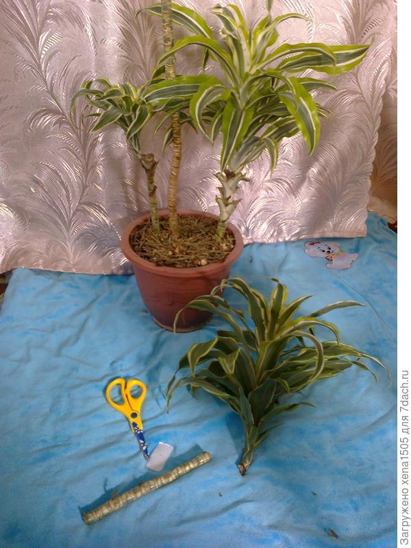Растение и черенки