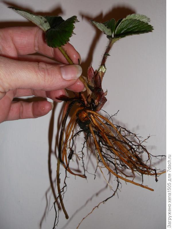 Саженец садовой земляники