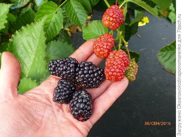 Осенние ягоды Прайм Арк Фридом