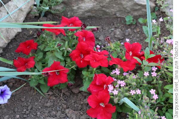 Июнь выдался довольно прохладным: теплые дни, холодные ночи. Петуния росла, но очень медленно, не кустилась, цветки появлялись одиночные. Рассада этого гибрида была слабенькой. Акклиматизировались после высадки сеянцы плохо, долго привыкали, не росли. Когда в июле началась жара, петуния похорошела. Тронулась в рост, дала боковые побеги, началось цветение. Цветение не слишком обильное, но продолжительное. Растения подкармливала каждую неделю органическим и минеральным комплексным удобрением (чередование). Цветы яркие и крупные, но заявленному производителем цвету не соответствуют. Это не винно-красный, просто насыщенный оттенок красного. Цветы мало чем отличались от таковых у Комплиментуния винно-красная F1.