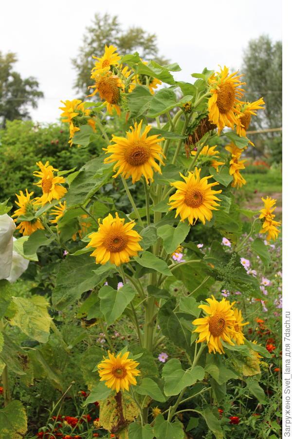 Подсолнечник 'Русский размер': лето у нас теплое, цветы кругом цветут, а в саду подсолнухи дивные растут!