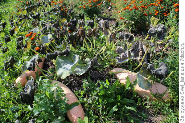 Тыква 'Торпеда' - царица овощей финиширует