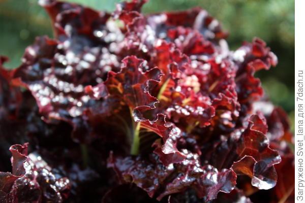 Салат листовой 'Гранатовый блеск' - шик, блеск, красота, но есть недостатки