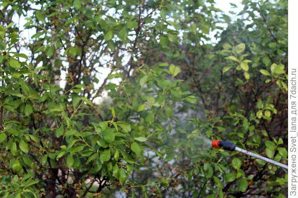 Тля и муравьи в моем саду - жестокая борьба