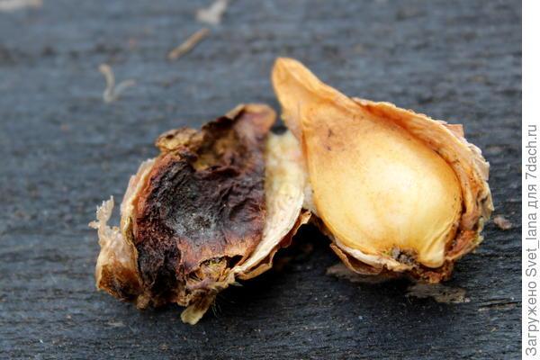 Трипсы и корневой луковый клещ - самые вредные вредители моих любимых луковичных цветов