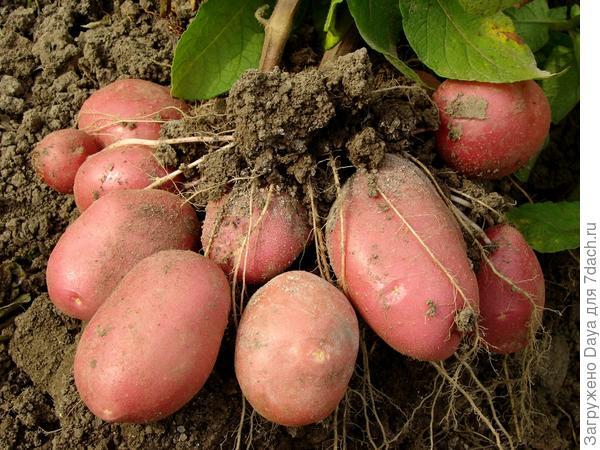 Куст картофеля сорта Рокки