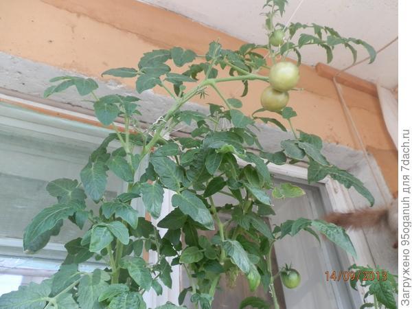 помидорки уже розовеют