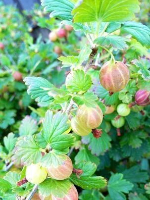 Угостить вас будем рады мы уральским виноградом!!! Уродилась как картинка, сладкая на грядке дынька!