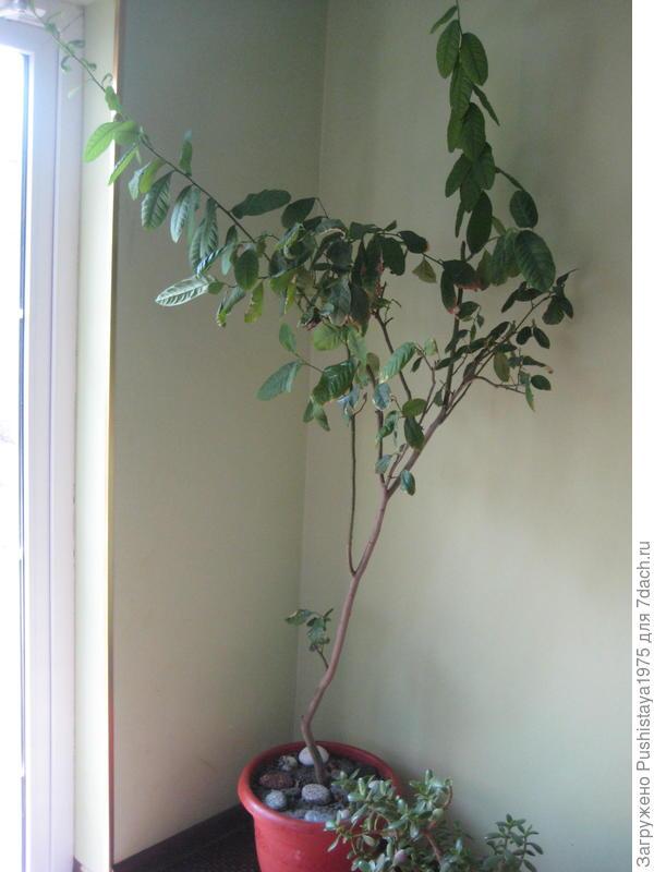 деревце апельсина