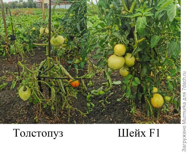 Томаты 'Толстопуз' и 'Шейх' F1. Цветение и плоды