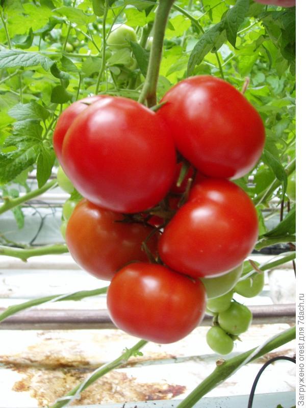 Индетерминатный томат