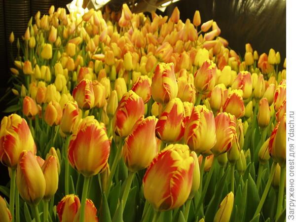 тюльпаны 3