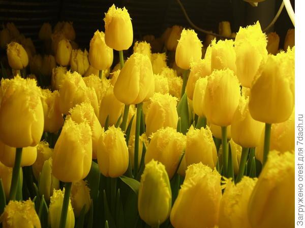 тюльпаны желтые.