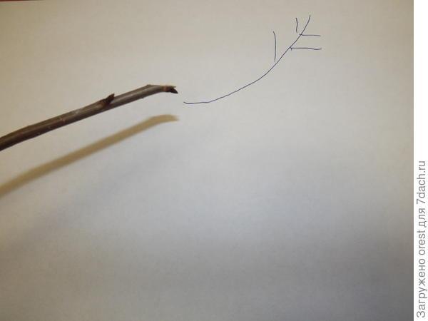 Обрезка на наружную (внешнюю) почку