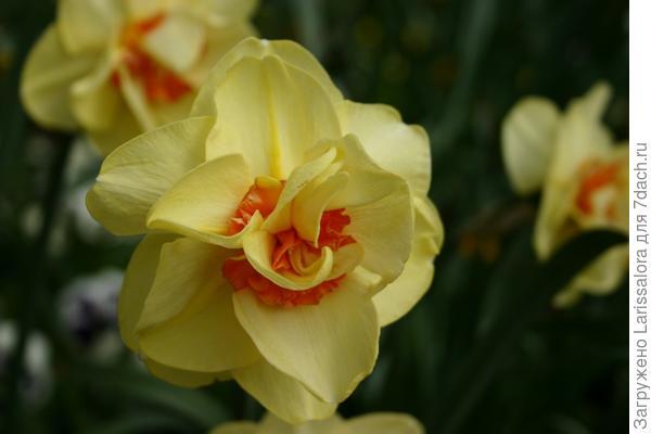 Нарцисс сорт Tahiti