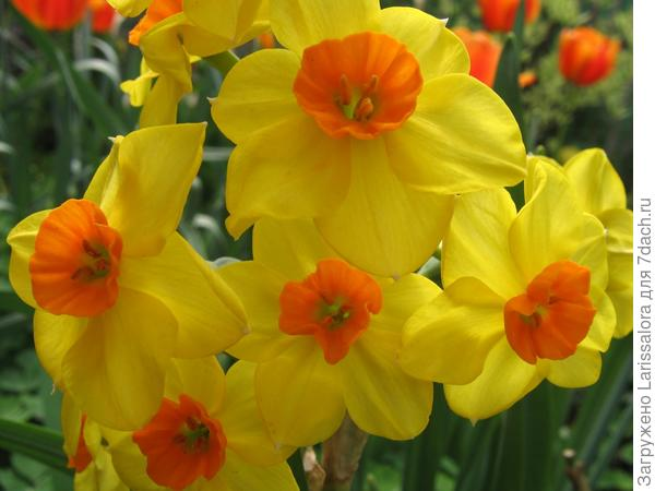 Нарциссы к 8 марта