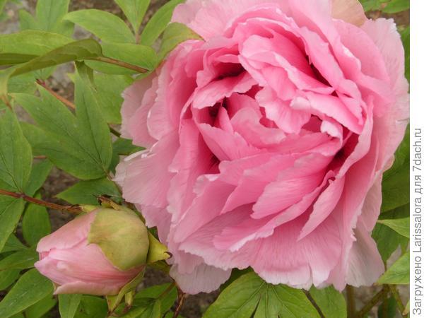 Древовидный пион с розовыми цветками