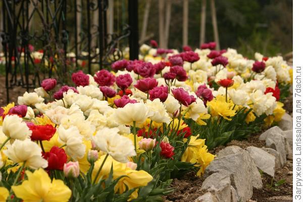 Радостный цветник из тюльпанов разных окрасок