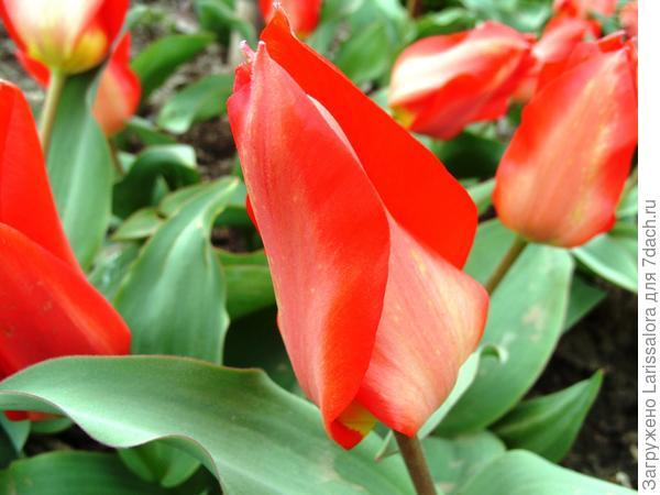 Тюльпан Eichleri