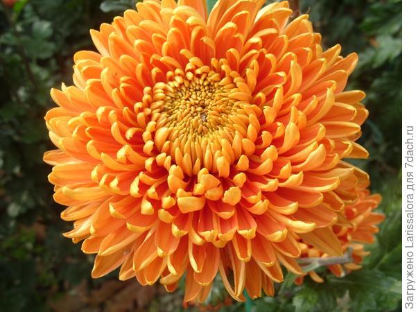 Оранжевая хризантема сорт Astro Bronze