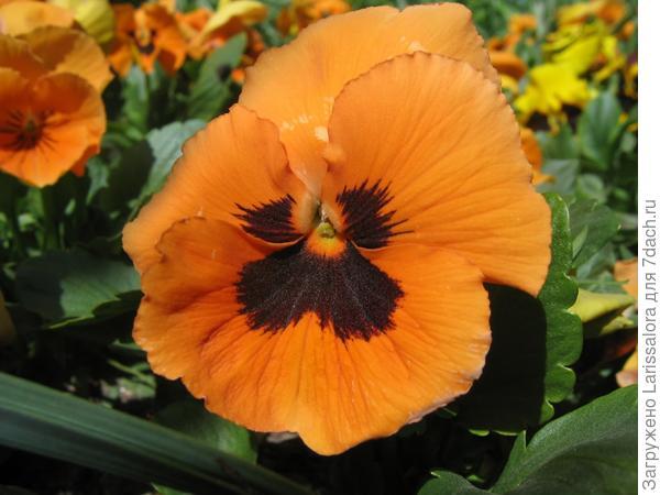 Оранжевые анютины глазки