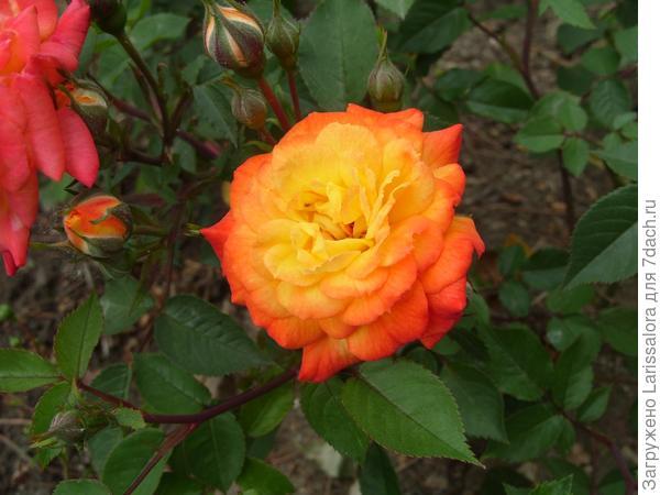 Оранжевая роза сорт Sunmaid