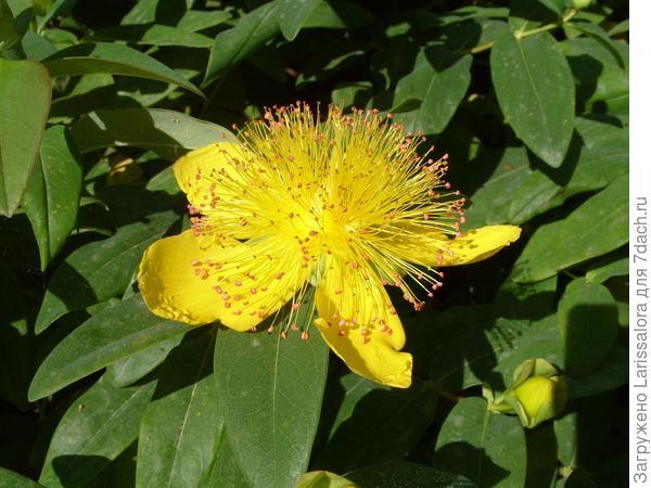 Желтый цветок зверобоя чашечного