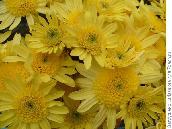 Желтая хризантема сорт Inga