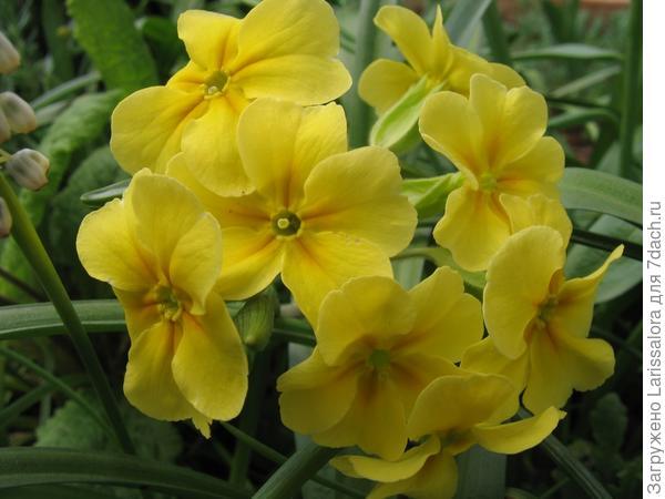 Желтые примулы