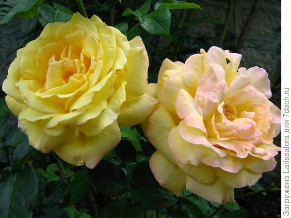 Желтая роза сорт Gloiria Dei