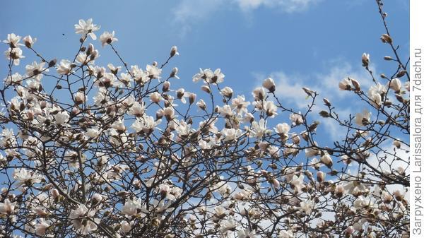 Цветет магнолия Лебнера