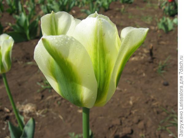 Зеленоцветковый тюльпан Spring Green