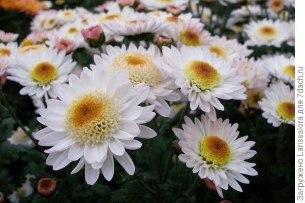 Хризантема мелкоцветковая сорт Медея