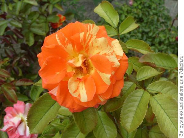 Роза сорт Orange-N-Lemons