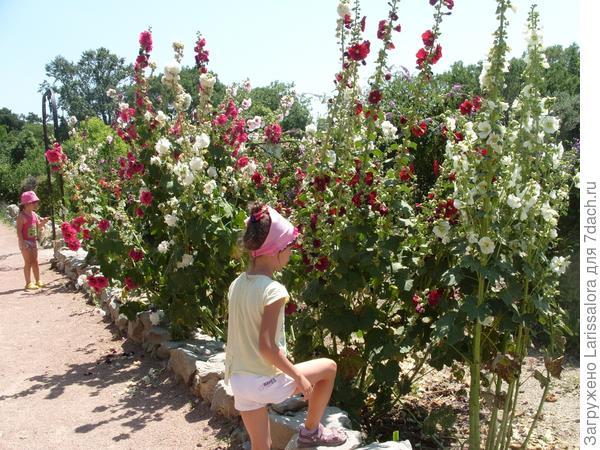 Живая изгородь из шток-розы