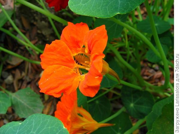 Цветок настурции большой