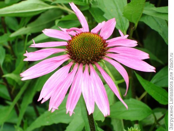 Цветет эхинацея пурпурная