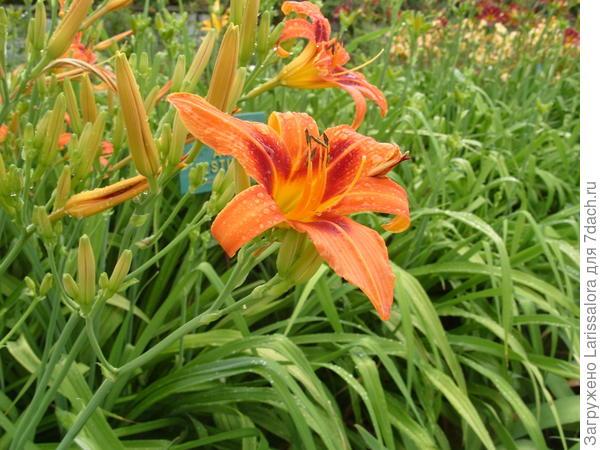 Цветет лилейник