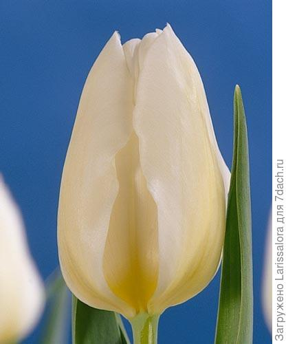 Тюльпан сорт Diana. Фото с сайта krot.by