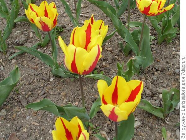 Тюльпан сорт Prins Carnaval
