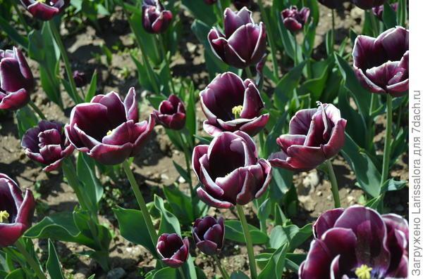 Тюльпан сорт Alexander Puschkin